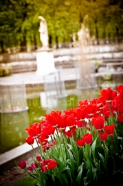 Tulipes aux Tuileries, Paris